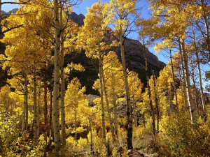 2013-10-06_15_04_21_Aspens_during_autumn_along_the_Changing_Canyon_Nature_Trail_in_Lamoille_Canyon,_Nevada